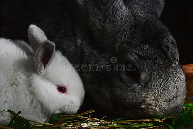 Little cute white rabbit of Leporidae family with his grey mother eating fresh grass royalty free stock images
