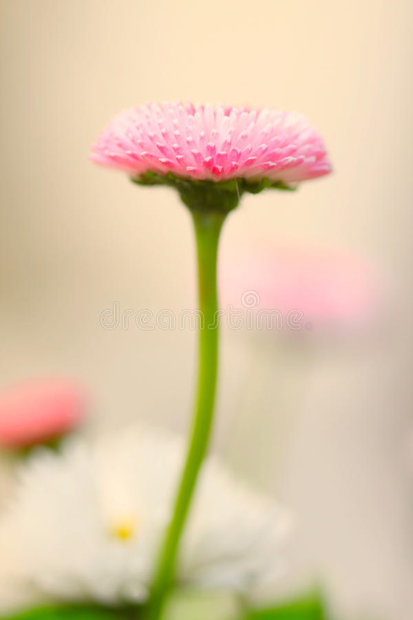 Little daisies stock image