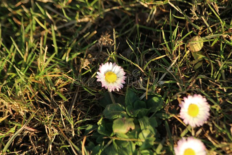 Little daisy flowers in the sunlight in the grass in Nieuwerkerk aan den IJssel in the netherlands. Little daisy flowers in the sunlight in the grass in stock photo
