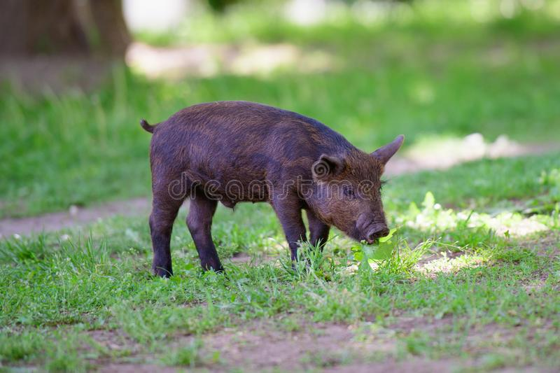 Little dark pig. Cute little black pig walks on a puddle, eating grass, love of nature, vega. Dark pig royalty free stock images