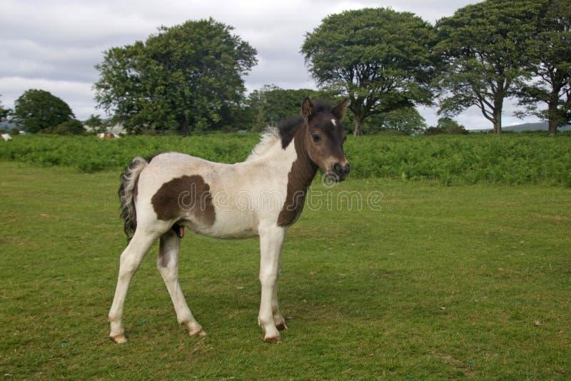 Little Dartmoor Foal. A wild foal on Dartmoor in Devon, England royalty free stock photo