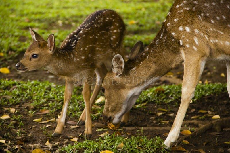 Little Deer Stock Image