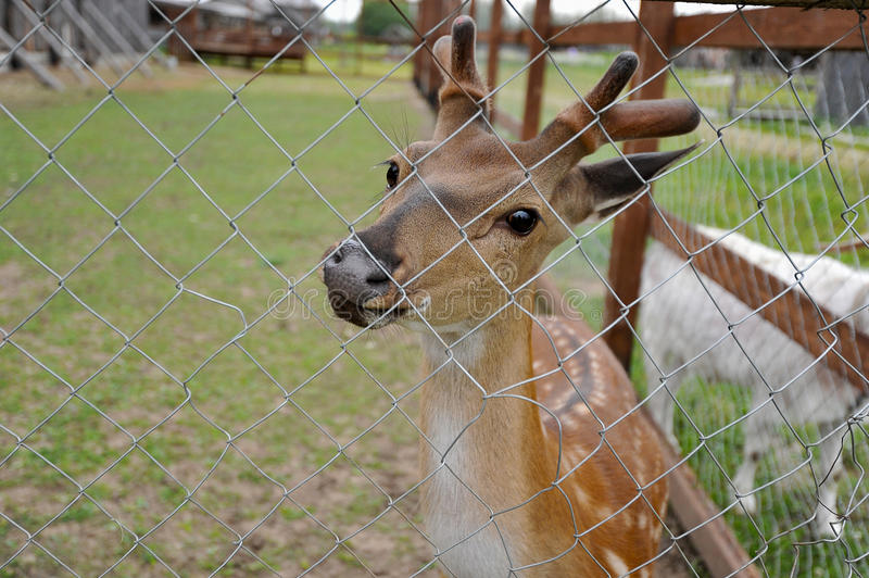 Little deer in the pavilion royalty free stock images