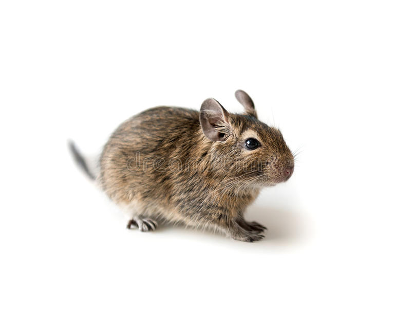 Little Degu squirrel, isolated, closeup. Little adorable Degu squirrel as a pet, sitting on a surface, isolated, closeup royalty free stock images