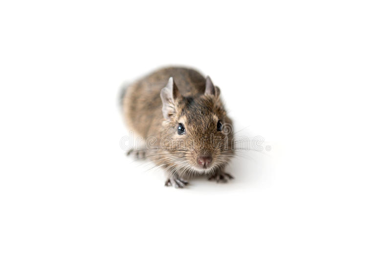 Little Degu squirrel, isolated, closeup. Little adorable Degu squirrel as a pet, sitting on a surface, isolated, closeup stock photography