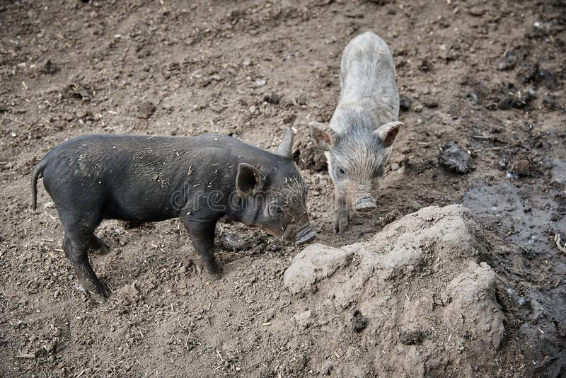 Little dirty pigs royalty free stock image