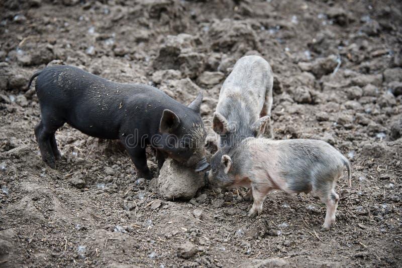 Little dirty pigs stock photos