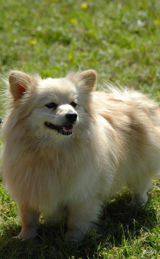 Little dog. A little Pomeranian dog head portrait from front watching other dogs stock image