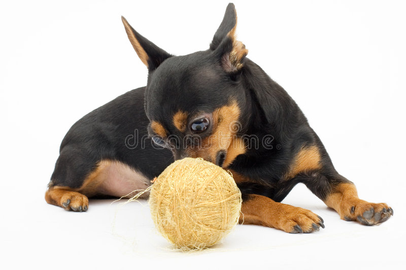 Little dog royalty free stock images