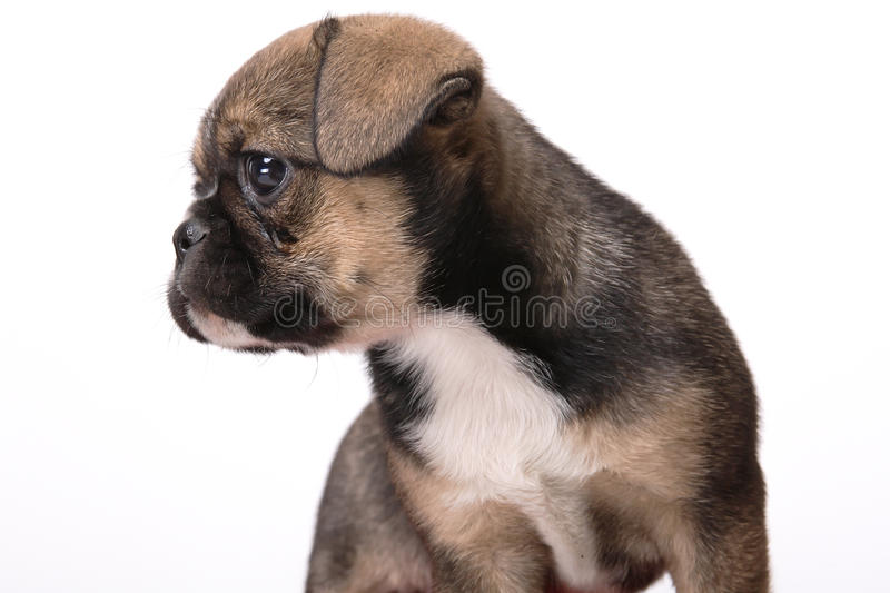 Little Dog Stock Image