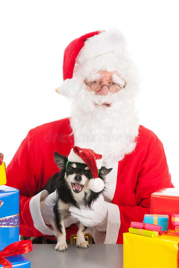 Little dog as gift for Christmas. Little chihuahua between the colorful Christmas gifts holding by Santa Claus royalty free stock photos