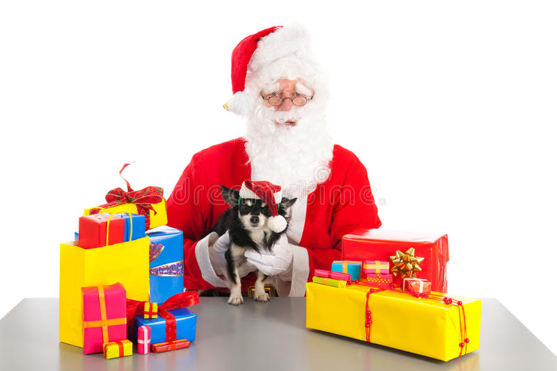 Little dog as gift for Christmas. Little chihuahua between the colorful Christmas gifts holding by Santa Claus stock image