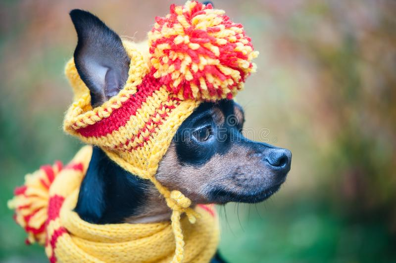 Little dog in an autumn hat and scarf. Funny, funny puppy. Theme of autumn, cold. A dog in clothes. Toy Terrier. Portrait of a macro stock photos