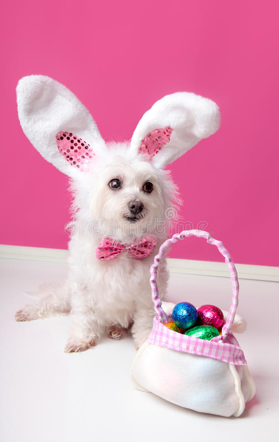 Little dog with a bag of chocolate easter eggs. A cute little dog with rabbit bunny ears sitting beside a bag of assorted easter eggs. Pink background stock image
