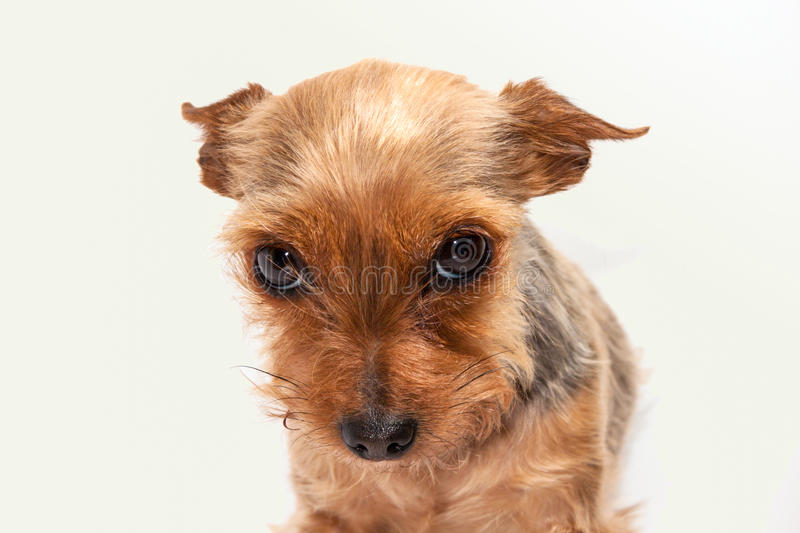 Little dog royalty free stock photo