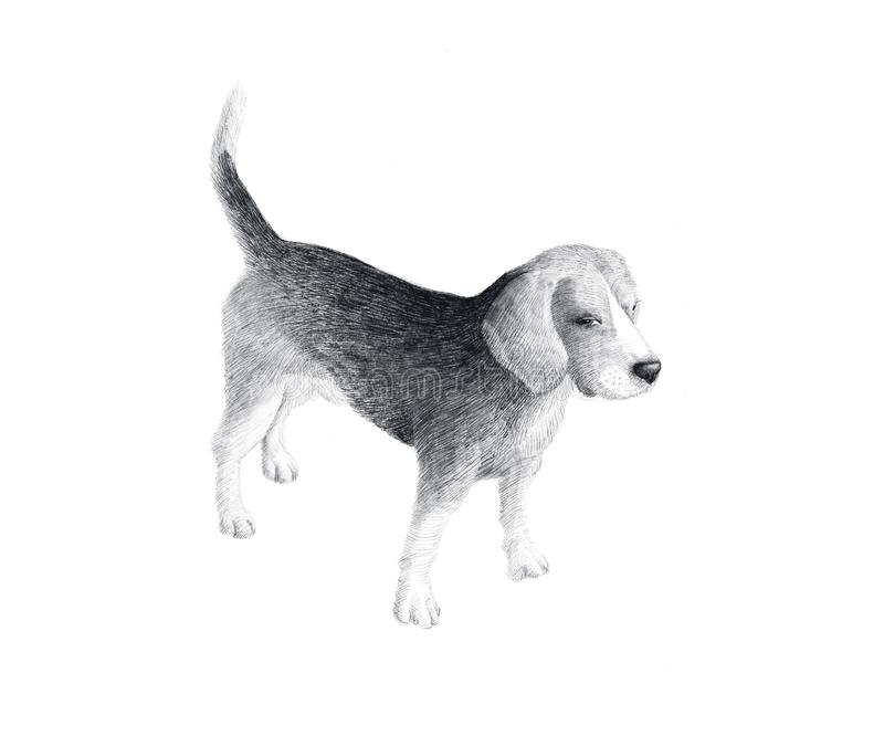 Little dog breed Beagle, sketch graphics black and white drawing. Hand drawn dog doodle. Pet image, poster background. Decorative animal portrait, isolated royalty free stock images
