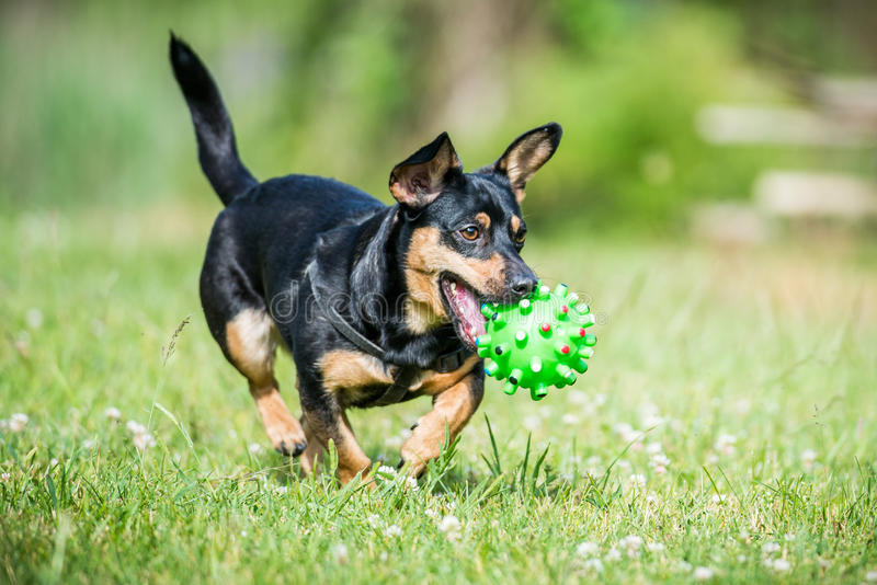 Little dog brings toy. Summer meadow royalty free stock images