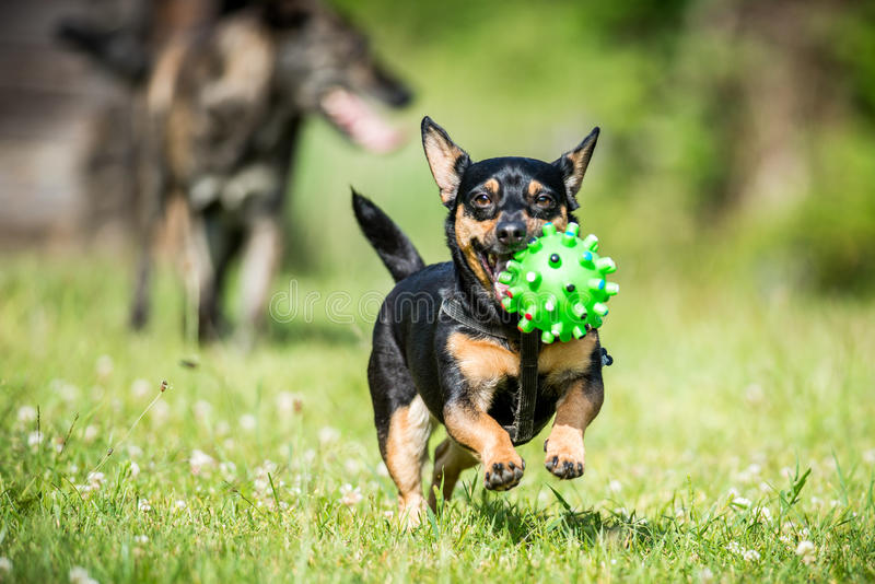 Little dog brings toy. Summer meadow royalty free stock photo