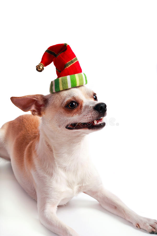 Little dog chihuahua in a Santa hat. Over white background royalty free stock photography