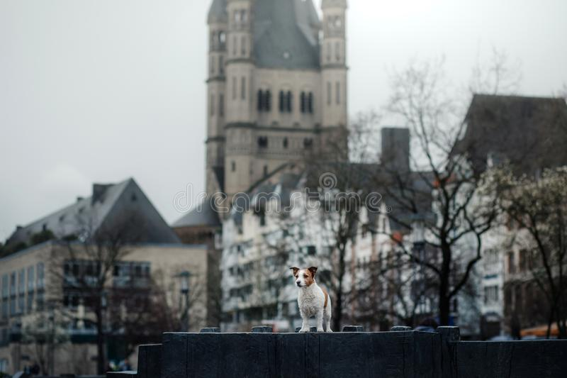 Little dog in the city. travel with your pet. dog on the background of architecture royalty free stock photo