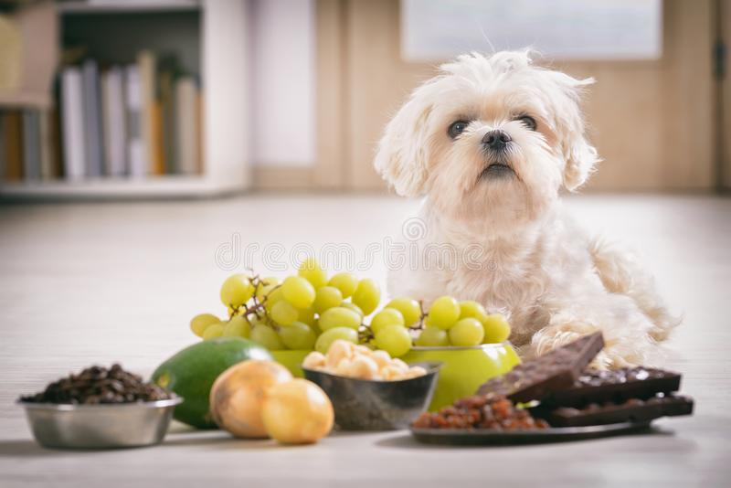 Little dog and food toxic to him. Little white maltese dog and food ingredients toxic to him stock image