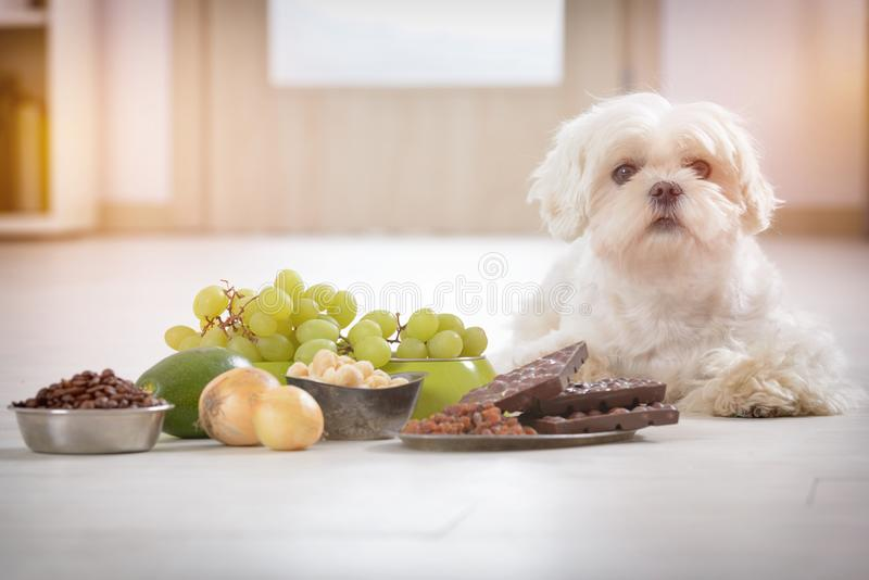 Little dog and food toxic to him. Little white maltese dog and food ingredients toxic to him stock photography