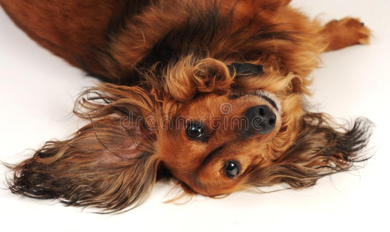 Little dog laying on back royalty free stock photography