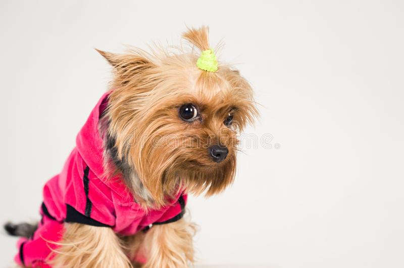 Download Little dog looking ashamed stock image. Image of small - 23581739