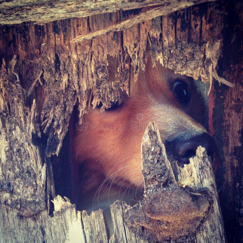 Dog peeking through a hole royalty free stock image
