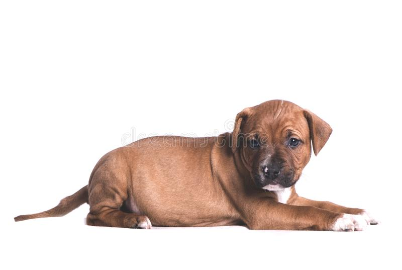 Little puppy. Little dog puppy in studio stock photography
