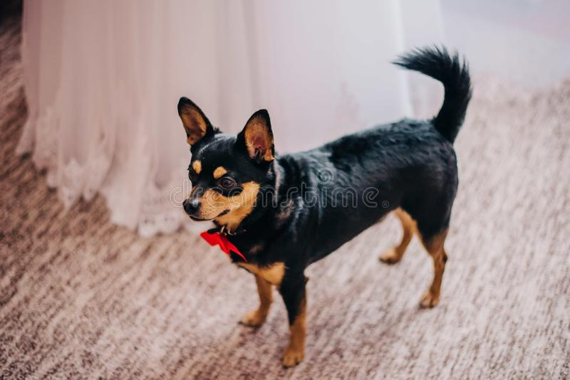 A little dog with a red bow around his neck, awaiting the marriage of a hamster, stands next to the bride royalty free stock photo