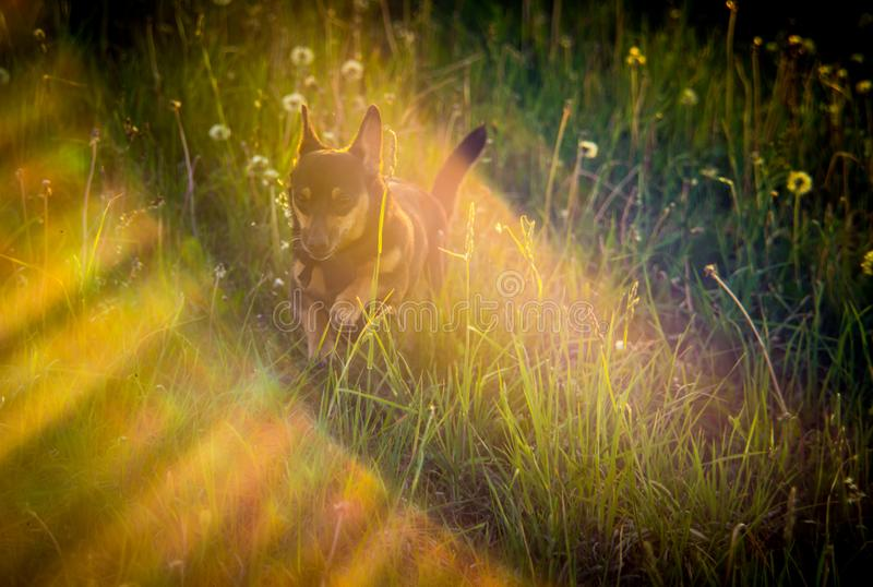Little dog run in dandelion meadow royalty free stock images