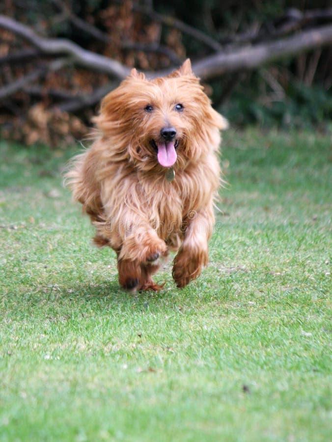 Little Dog Running Royalty Free Stock Photos