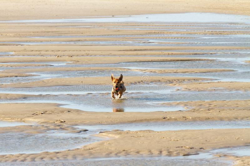 Little dog running through narrow channels at the beach stock photo