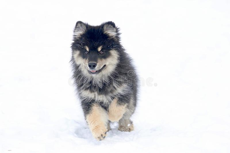 Little Dog Running in the Snow royalty free stock image