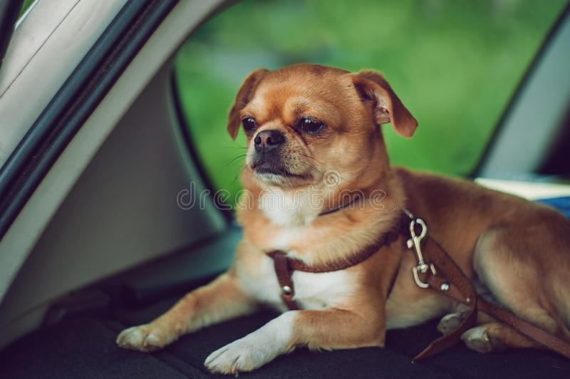 The little dog is sitting in the car stock photos