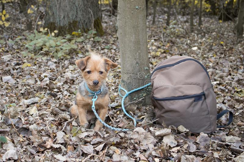 Little dog is tied to a tree alone and abandoned with a backpack. The little dog is tied to a tree alone and abandoned with a backpack stock photos