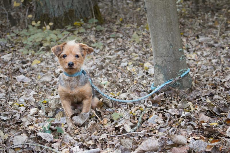 The little dog is tied to a tree to be abandoned. A little dog is tied to a tree to be abandoned stock photos