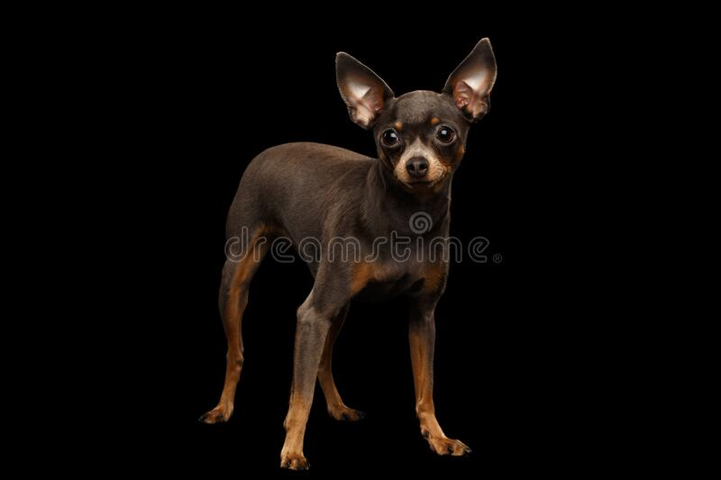 Toy Terrier Dog isolated on black background royalty free stock photo