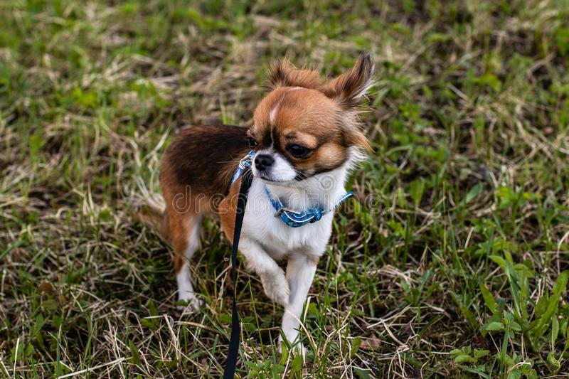 The little dog is walking stock images