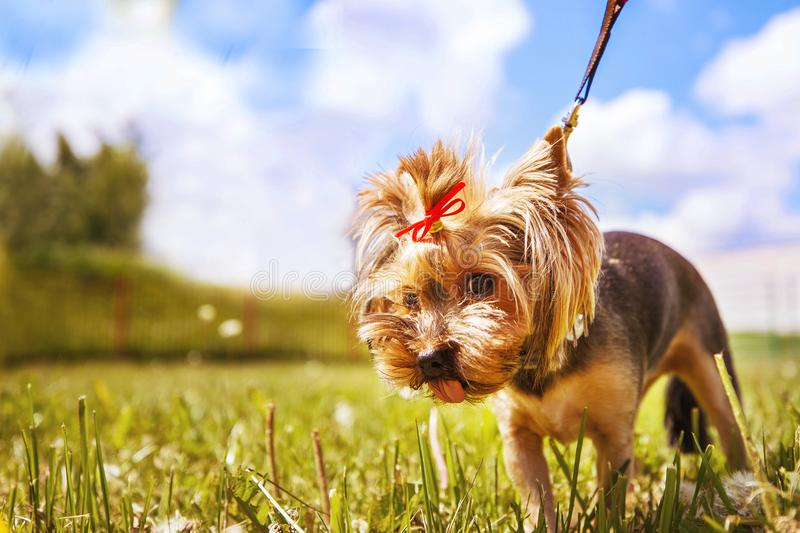 Little dog walks in the park. stock photography