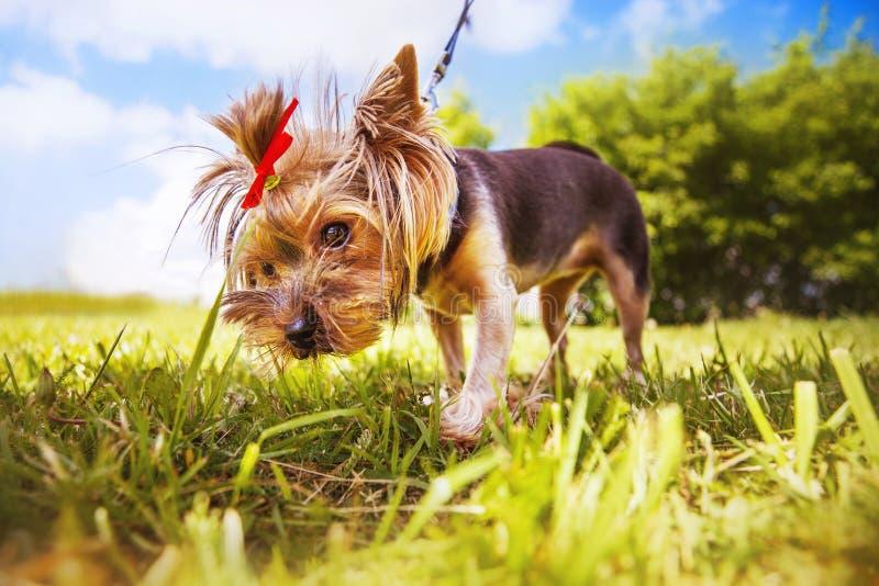 Little dog walks in the park. stock image