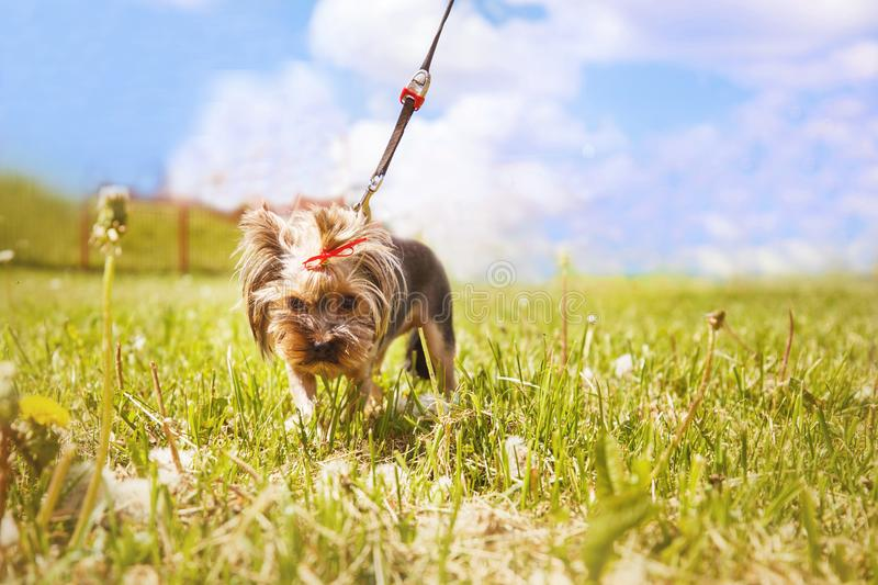 Little dog walks. a portrait of a Yorkshire terrier. Little dog walks in the park. a portrait of a Yorkshire terrier royalty free stock photography