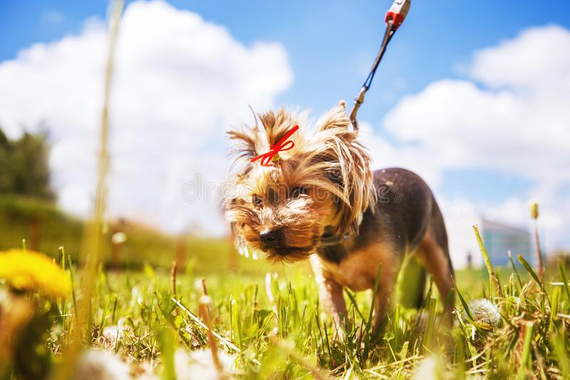 Little dog walks. a portrait of a Yorkshire terrier. Little dog walks in the park. a portrait of a Yorkshire terrier royalty free stock photos