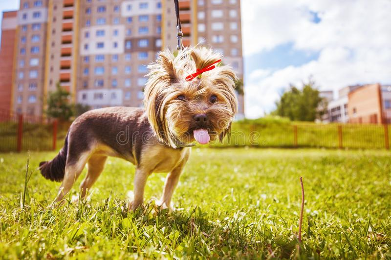 Little dog walks . a portrait of a Yorkshire terrier. Little dog walks in the park. a portrait of a Yorkshire terrier royalty free stock images