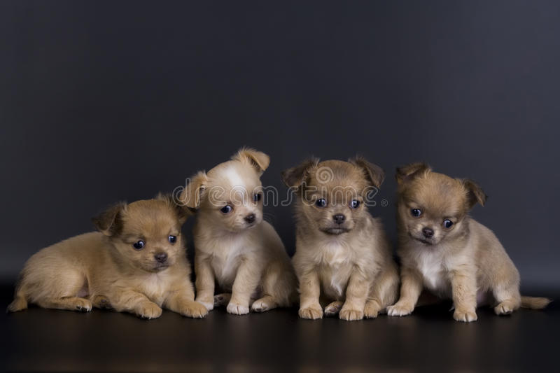 Little dogs stock images