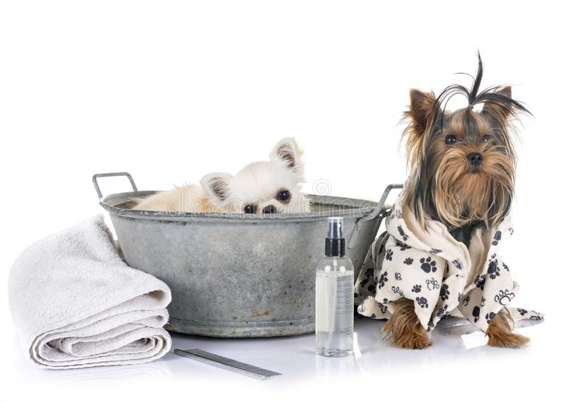 Little dogs and bath stock photos