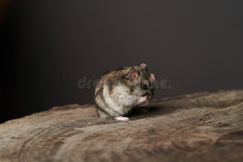 Little domestic hamster on grey background. Djungarian Dwarf hamster. Close-up. Play with pet small hamster on a wood stump. Rodent stock photos