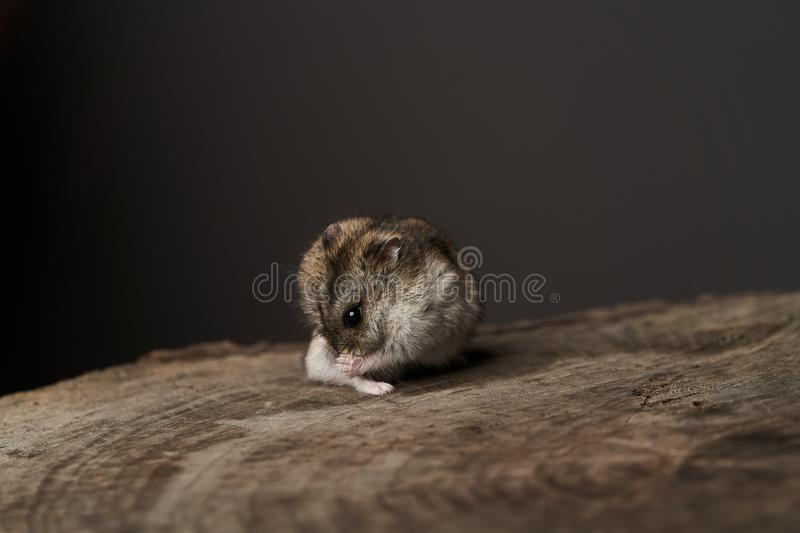 Little domestic hamster on grey background. Djungarian Dwarf hamster. Close-up. Play with pet small hamster on a wood stump. Rodent royalty free stock image