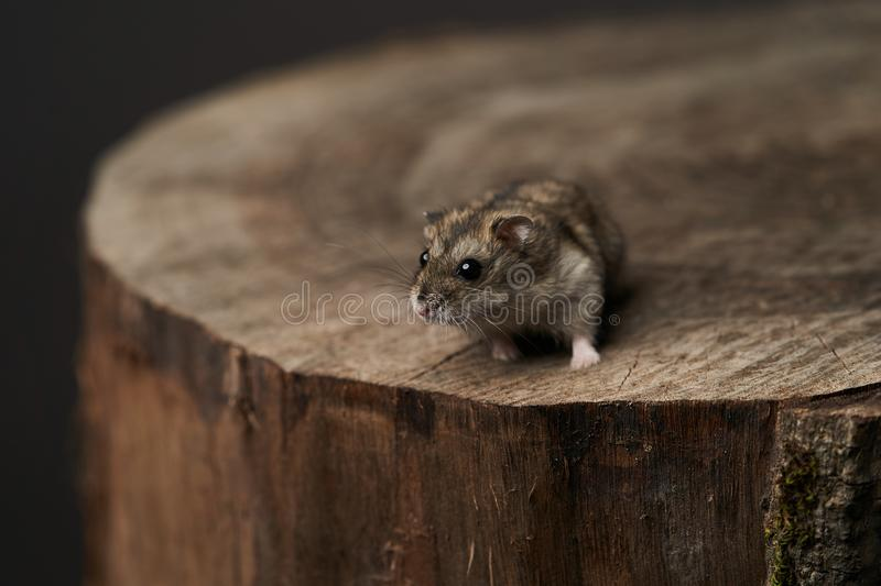 Little domestic hamster on grey background. Djungarian Dwarf hamster. Close-up. Play with pet small hamster on a wood stump. Rodent royalty free stock photo